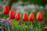 Red tulips-1513632