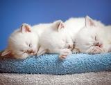 Kittens in dreams
