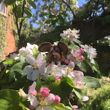 Minimus in the apple blossom
