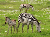 Africa-wilderness-young-zebra-73811