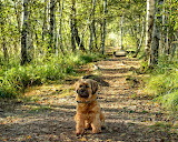 dog in the birch forest