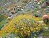 CADAB-120-Brittlebush-in-bloom-alongside-barrel-cactus-Anza-Borr