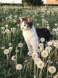 Cat among dandelions