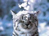 *Snow Cat...