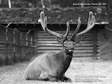 Buck at High Park Zoo