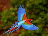 Ara niebieskoskrzydła