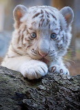Baby Bengale tiger