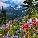 Mt. Rainier Flowers, Washington...
