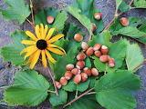 Hazelnuts flower