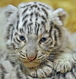 Biały tygrysek
