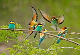"Birds tumblr tangledwing ""European Bee-eaters"" ""Merops apiaster"""