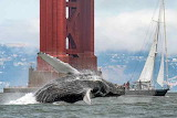 Humpback by Golden Gate