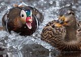 Decoy and duck
