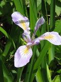 Wild meadow iris