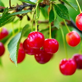 ♥ Summer Cherries...