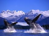 Humpback Whales Breaching, Alaska...