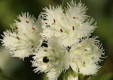 Wildflower Phacilia