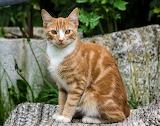 Posing red cat