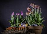 ^ Primula Tulips Toys Flowerpot Flowers