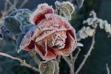 Rose givrée / Frozen Rose 04