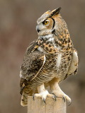 Talons, Great Horned Owl