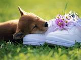 Shiba Inu  Puppy...