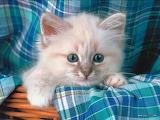 Fluffy-kitten-very-cute