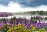 Lake, fog, flowers, meadow, nature, landscape