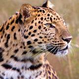 Male Amur Leopard...