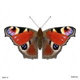 "Science tumblr scientificillustration ""Aglais io"" ink-falcon"