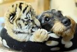 Tiger cub and dog