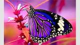 Lavender Wing