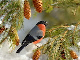 Bird bullfinch in winter