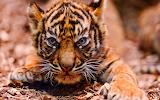 Baby-tiger