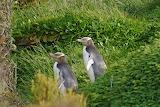 Enderby, Island-yellow eyed penguins