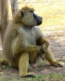 Pensive Baboon ~ Amboseli