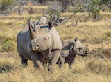 rhino family,South Africa