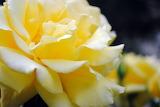 Yellow rose flower petals