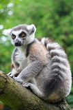 Lemur 12