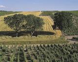 Paysage de vignoble près d'Amigny (Cher)