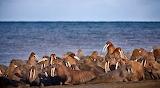 Walrus Pile