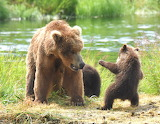 Bears - Grizzly and cubs - Alaska