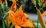 lilies flower