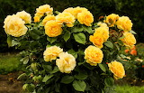 ^ Yellow Rose Bush
