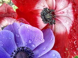 Purple and Red Anemones