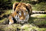 Tiger-hunting