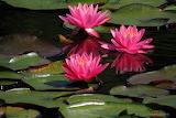 POTW Pink Water Lilies