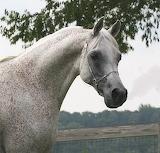 Gray Arabian 1