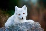 ☺ Arctic fox cub...