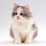 Cute Fluffy Kitten...